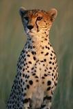 Cheetah Sitting in Grass Fotografisk tryk af Paul Souders