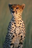 Cheetah Sitting in Grass Fotografie-Druck von Paul Souders