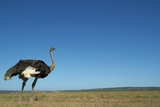 Ostrich in a Pasture Photographic Print by Paul Souders