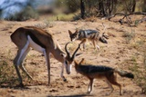 Springbok Fending Off Blackbacked Jackals Photographic Print by Paul Souders