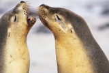 Sea Lions Touching Whiskers Photographic Print by Paul Souders