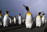 Rainbow Stretching Above King Penguins Photographic Print by Paul Souders