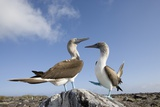 Pair of Blue-Footed Boobies Reproduction photographique par Paul Souders