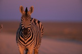 Female Zebra in Early Morning Light Photographic Print by Paul Souders