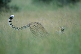 Cheetah Stretching in Tall Grass Photographic Print by Paul Souders