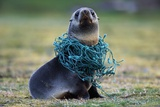 Fishing Net Caught around Fur Seal's Neck Photographic Print by Paul Souders