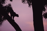 Silhouette of Leopard in Tree Photographic Print by Paul Souders