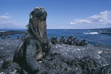 Red Marine Iguanas on Volcanic Rock Photographic Print by Paul Souders