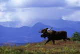 Moose on Tundra Near Mckinley River in Alaska Photographie par Paul Souders