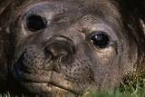 Elephant Seal Lying in Grass Photographic Print by Paul Souders