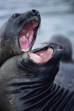Elephant Seals Sparing Photographic Print by Paul Souders