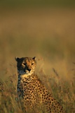 Cheetah Sitting in Tall Grass Photographic Print by Paul Souders