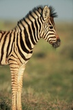 Plains Zebra at Sunset Photographic Print by Paul Souders