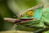 Parsons Chameleon Eating Grasshopper, Madagascar Photographic Print by Paul Souders