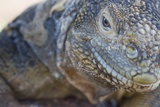 Close-Up of Land Iguana Photographic Print by Paul Souders