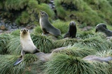Antarctic Fur Seals Resting on Tussock Grass Photographic Print by Paul Souders
