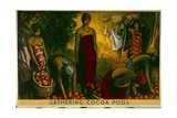 Gathering Cocoa Pods Poster Giclee Print