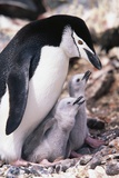 Chinstrap Penguin with Two Chicks in Antarctica Photographic Print by Paul Souders