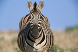 Burchell's Zebra Photographic Print by Paul Souders