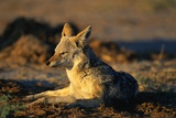 Blackbacked Jackal at Dawn Photographic Print by Paul Souders
