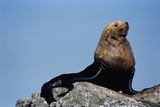 Resting Sea Lion Bull Photographic Print by Paul Souders