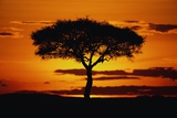 Silhouetted Camelthorn Tree at Sunset Fotografisk tryk af Paul Souders