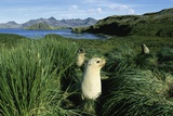 Antarctic Fur Seals Relaxing in Tussock Grass Photographic Print by Paul Souders