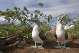 Pair of Blue-Footed Boobies Photographie par Paul Souders