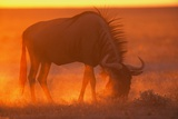 Blue Wildebeest Feeding at Sunset Photographic Print by Paul Souders