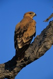 Tawny Eagle Perching on Branch Photographic Print by Paul Souders