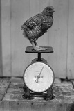 Bird Standing on Weight Scale Photographic Print