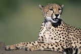 Cheetah Lying on Dirt Mound Photographic Print by Paul Souders