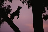 Silhouette of Leopard Leaping Through Trees Photographic Print by Paul Souders