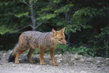 Patagonian Culpeo Fox Being Cautious Photographic Print by Paul Souders
