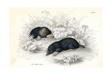 Common Moles Giclee Print