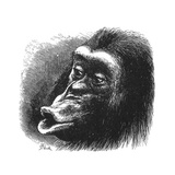 Face of Chimpanzee Giclee Print