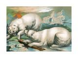 Two Polar Bears Fighting over Seal Giclee Print