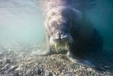 Walrus, Svalbard, Norway Photographic Print by Paul Souders