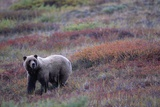 Grizzly Bear on Tundra Near Thorofare Pass Photographic Print by Paul Souders
