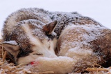 Sled Dog Sleeping after the Iditarod Photographic Print by Paul Souders