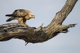 Tawny Eagle, Chobe National Park, Botswana Photographic Print by Paul Souders