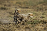 Cheetah Cubs Playing at Ngorongoro Conservation Area Photographic Print by Paul Souders