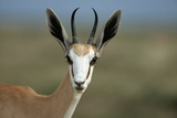 Head of a Springbok Photographic Print by Paul Souders