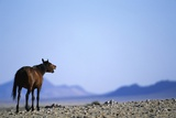 Wild Horse Calling in Namib-Naukluft Park Photographic Print by Paul Souders