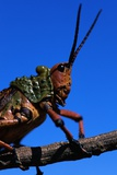 Grasshopper on a Branch Photographic Print by Paul Souders