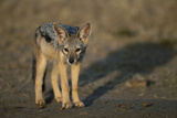 Jackal Pup Photographic Print by Paul Souders