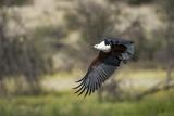 African Fish Eagle, Makgadikgadi Pans National Park, Botswana Photographic Print by Paul Souders