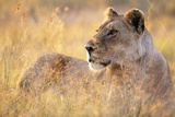 Lioness Resting on Savanna Photographic Print by Paul Souders