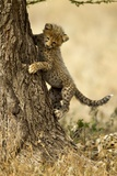 Cheetah Cub Photographic Print by Paul Souders