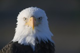 Bald Eagle Photographic Print by Paul Souders
